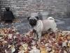 Dutch Pug